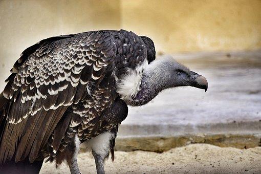 Vulture, Bird, Raptor, Animal, Birds, Animals, Biopark