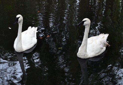 Swan, Trumpet Of The Swan, Water Bird, White Bird