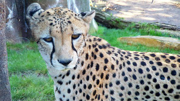 Animal World, Mammal, Cat, Wild, Animal, Predator