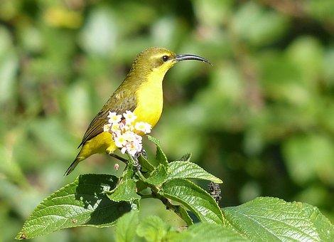 Sunbird, Yeppoon, Birds