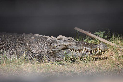Crocodile, Crooks, Eye, Alligator, Wildlife, Animal