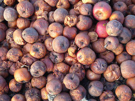 Cider Apples, Windfall, Apple Rot, Apple, Lazy, Orchard