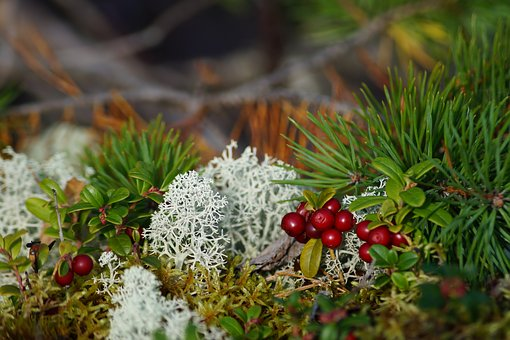 Lingon, Edible, Forest Floor, Autumn, Finland