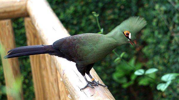 Tauraco, Persa, Buffoni, Green Turacos, Turaco, Bird