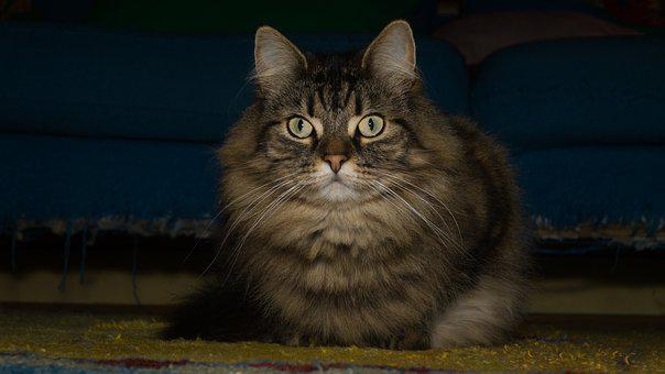 Cat, Norwegian Forest Cat, Attention, Sweet