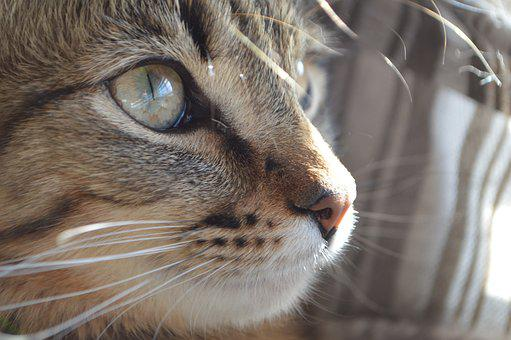 Cat, Eye, Pet, Animal, Kitten, Domestic, Cute, Face
