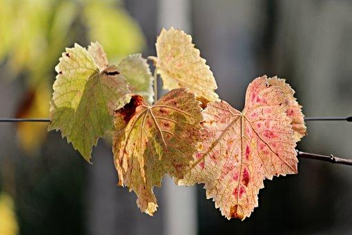Fall Foliage, Leaves, Colored, Color, Colorful, Autumn