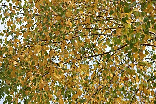 Birch, Firs, Autumn, Nature, Flora, Time Of Year, Brown