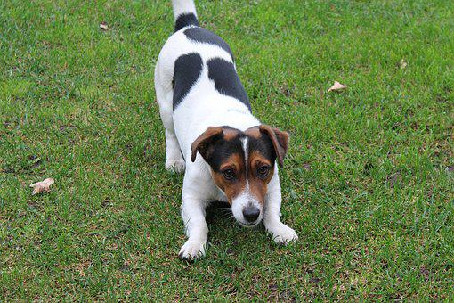 Dog, Jack Russell Terrier, Fun, Friend, Small Dog