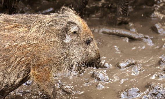 Wild Boars, Animals, Mud, Dirty, Animal World, Nature