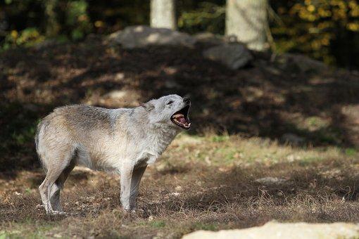 Wolf, Timberwolf, Eat, Predator, Nature, Pack, Canada