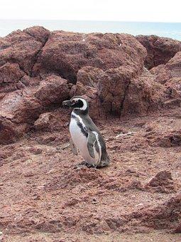 Penguin, Magellan, Nature, Patagonia, South
