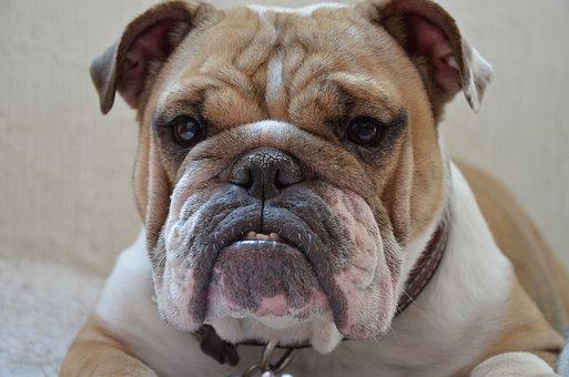 Pet, Pitbull, Dog, Puppy, Animal