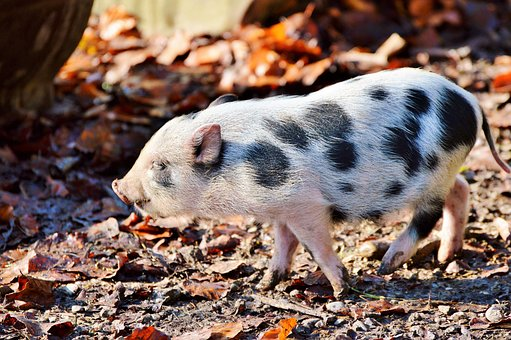 Pot Bellied Pig, Pig, Piglet, Young Animal, Sow