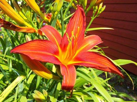 Lily, Garden, Plant, Blossom, Flower, Nature, Summer