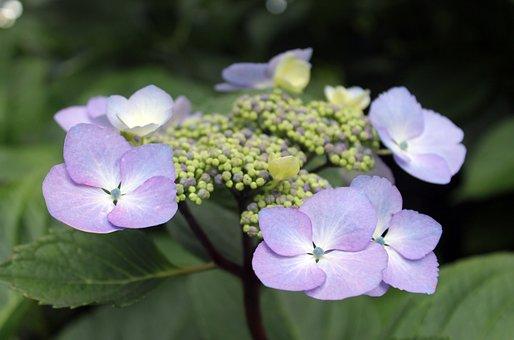 Lavender, Purple, Flower, Bush, Green