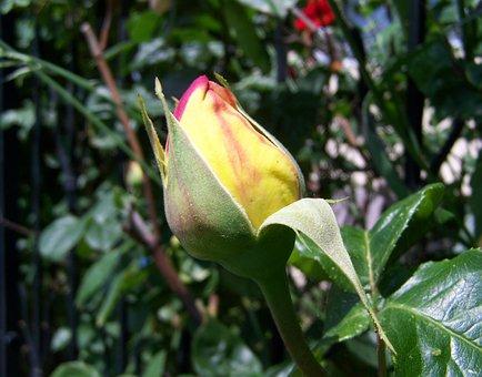 Rose Buds, Tea Rose, Summer Flower, Garden