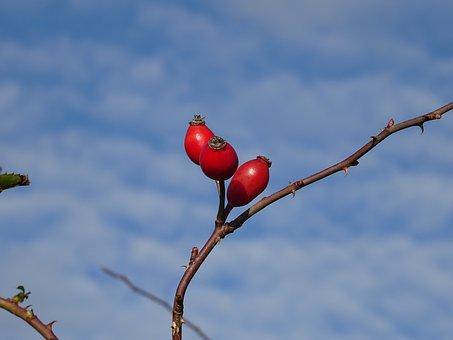 Rose Hip, Fruit, Red, Plant, Fruits, Sammelfrucht