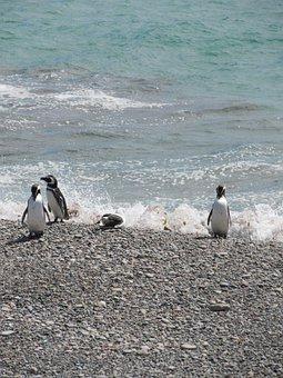Punta Tombo, Penguin, Magellan, Tourism, South