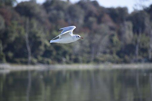 Seagull, Bird, The Greater Island, Trasimeno