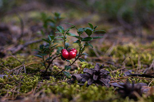 Cranberries, Berries, Forest Floor, Healthy, Vitamins