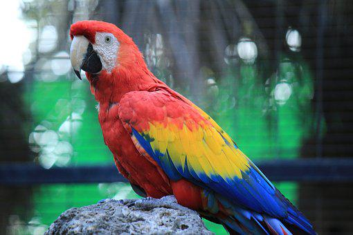 Parrot, Macaw, Red, Amazon, Ave, Bird, Tropical Bird