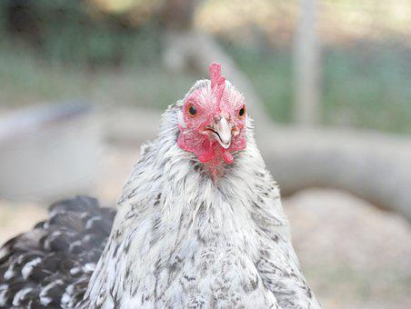 Hen, Animal, Farm, Poultry, Animals, Closed Nature