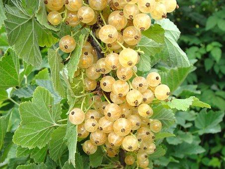 Currant, White Currants, Berry, Closeup, Garden