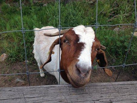Goat, Fence, Billy Goat, Domestic Goat, Goat Buck
