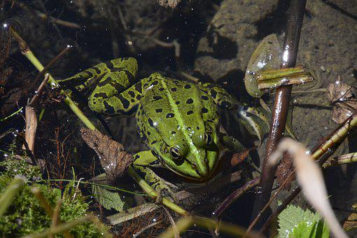 Toad, Biotope, Nature, Green