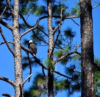 Bald Eagle, Bird, Eagle, Wildlife, Forest Wilderness