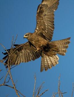 Australia, Kite, Bird, Bird Of Prey, Fly, Eagle