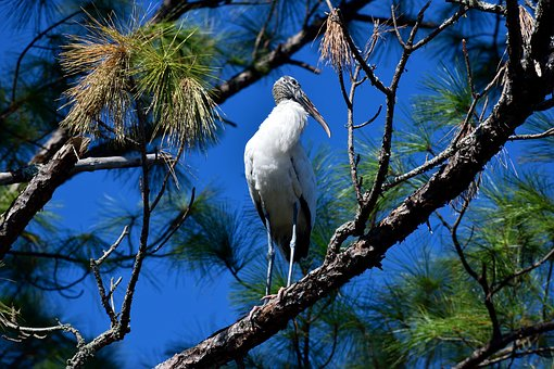 Wood Stork, Bird, Wildlife, Nature, Trees, Wilderness