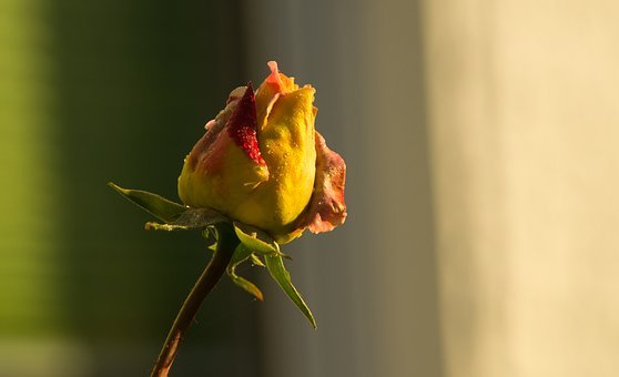 Rose, Red, Yellow, Blossom, Bloom, Beautiful, Plant
