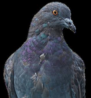 Dove, Homing Pigeon, Animal, Bird, Nature, Bill, Fly
