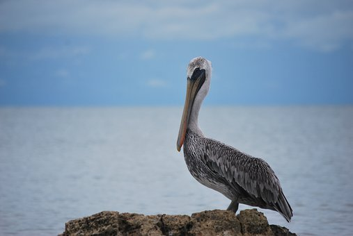 Animal, Wild Life, Ave, Pelican, Fauna, Animals, Nature