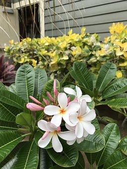Plumeria, Hawaii, Flower, Floral