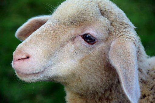 Lamb, Sheep, Young Animal, Head, White, Peaceful, Wool