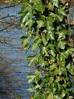 Ivy, Green Leaves, Pond, Springtime