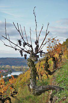 Grapevine, Vineyard, Landscape, Winegrowing, Vine