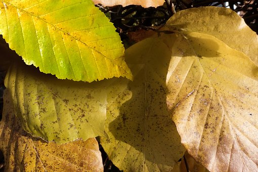 Autumn, Beech, Leaves, Colorful, Nature, Color, Yellow