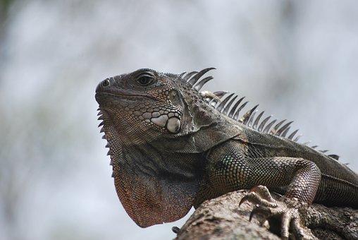 Iguana, Nature, Animal, Green, Lizard, Fauna, Animals