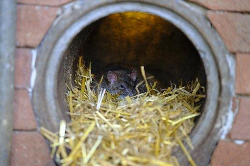 Rat, Nager, Rodent, Animal, Mammal, Pest, Animal World
