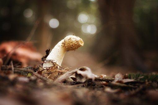 Mushroom, Stinkmorchel, Morel, Common Stinkmorchel