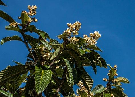 Loquat, Blossom, Flower, Fruit, Nature, Petal, Plant