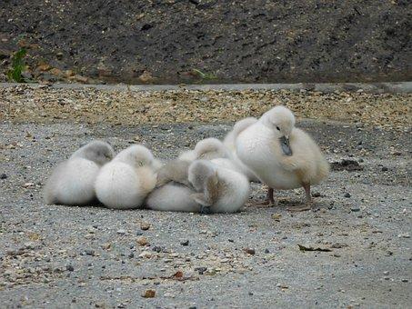 Animals, Bird, White Swan, Nestled, Juvenile, Cygnets