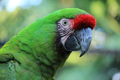 Parrot, Macaw, Red, Amazon, Ave, Bird, Tropical Bird