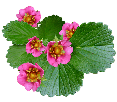 Flowers, Pink, Strawberry, Plant