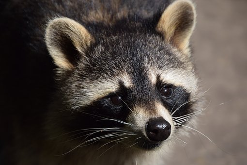 Raccoon, Animal, Close, Nature, Wildlife Park