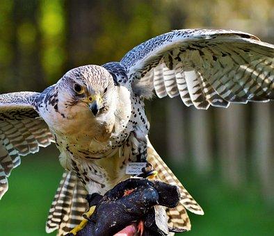 Bird, Falcon, Raptor, Bird Of Prey, Falconry
